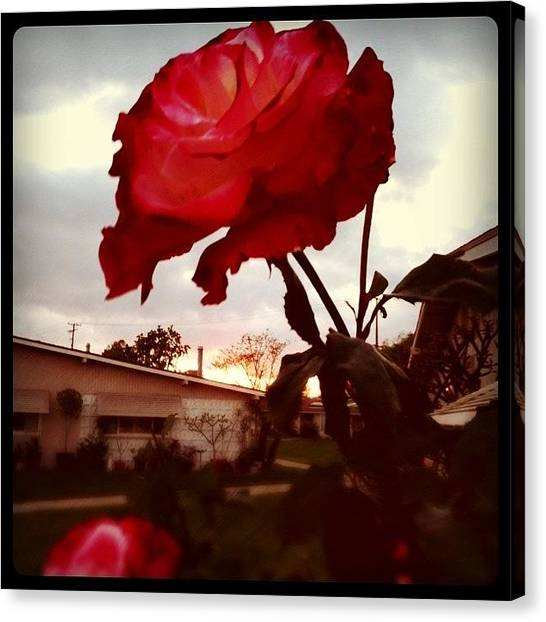 Red Roses Canvas Print - Rose Of Sharon by Jason Ogle