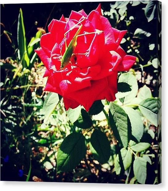 Grasshoppers Canvas Print - #rose #pink #pinkrose #garden #leaf by Ekaterina Fast