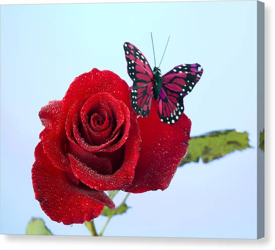 Rose Red Butterfly Isolated On Blue Canvas Print