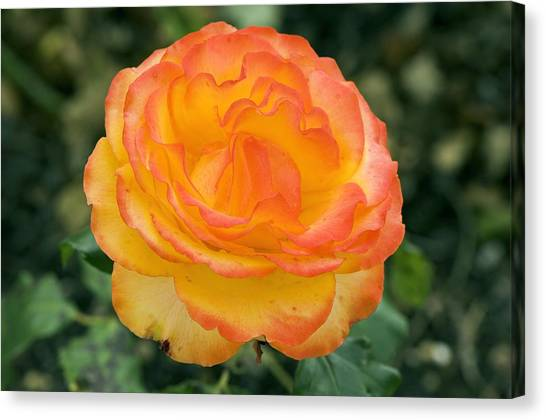 Tequila Sunrise Canvas Print - Rose (rosa 'tequila Sunrise') by Adrian Thomas