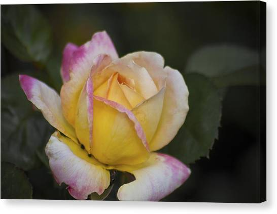 Rose With Pink Tips Canvas Print