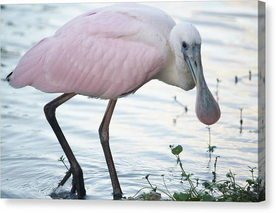Roseate Spoonbill 3 Canvas Print by Andrea  OConnell