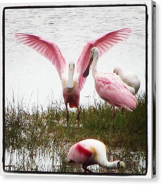 Spoonbills Canvas Print - #roseate #spoonbill #pink #wading by Michael Hughes