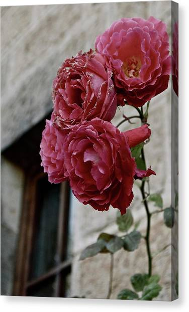 Roses In Napa Canvas Print by Lori Leigh