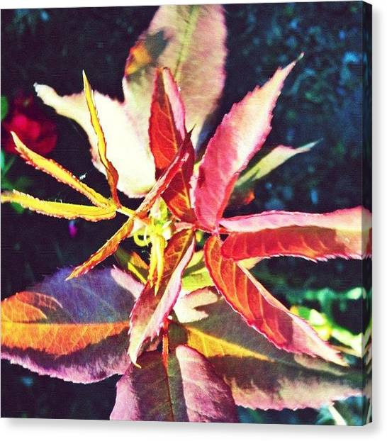 Apples Canvas Print - Rosy Glow - Rose Leaves Afternoon Light by Anna Porter