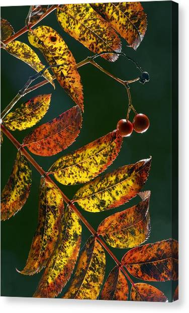 Wild Berries Canvas Print - Rowan Foliage (sorbus Aucuparia) by Bob Gibbons