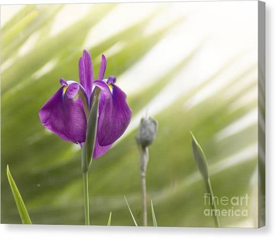 Purple Japanese Water Iris Canvas Print