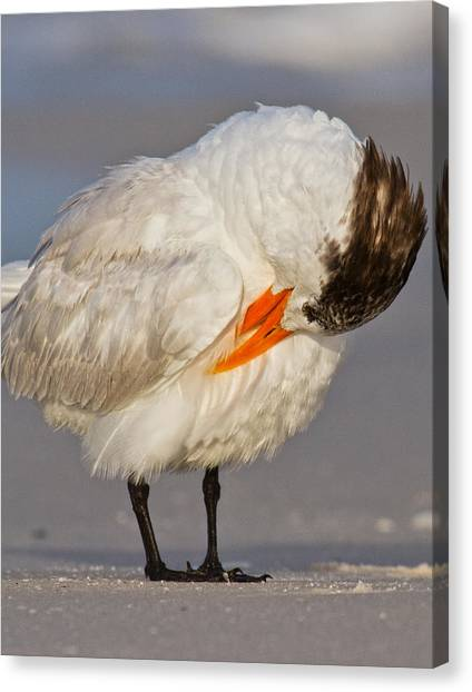 Sandwich Canvas Print - Royal Tern by Betsy Knapp