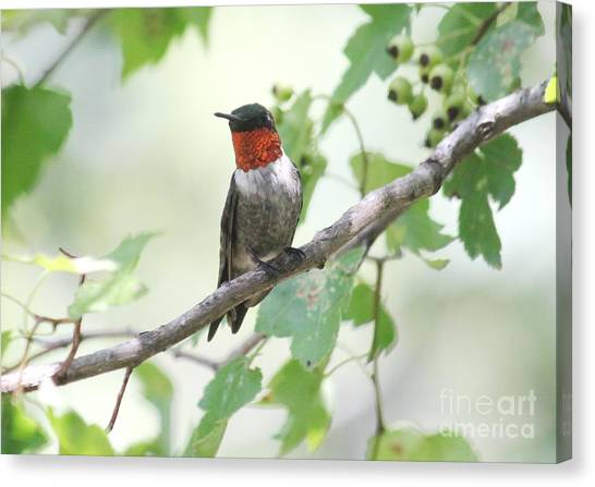 Ruby Throat Canvas Print by Theresa Willingham