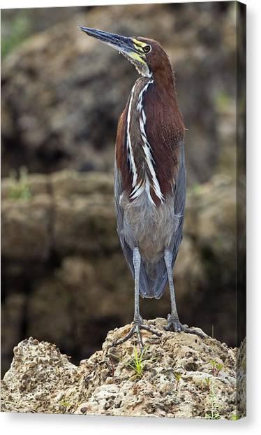 Rufescent Tiger Heron Canvas Print by Tony Camacho