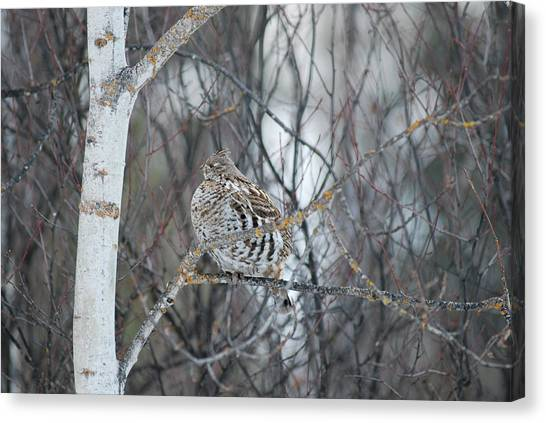 Ruffed Grouse Roosting Canvas Print