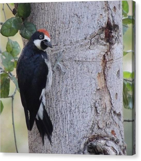Woodpeckers Canvas Print - #ruleofbirds #birdnerd #birdlovers by Tammy List