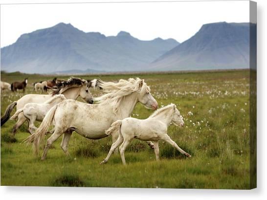 Wild Horse Canvas Print - Running Wild In Iceland by Gigja Einarsdottir