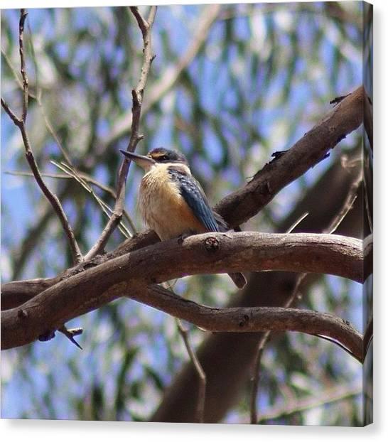 Kingfisher Canvas Print - Sacred Kingfisher #kingfisher #wa by Chris Barber