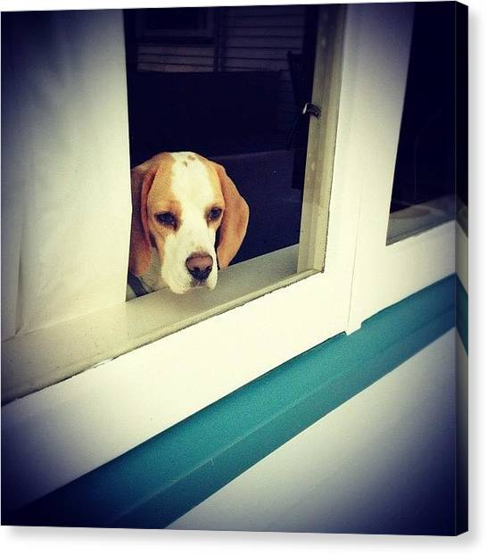 Beagles Canvas Print - Sad Beagle #iphonesia #photooftheday by Stewart Baird