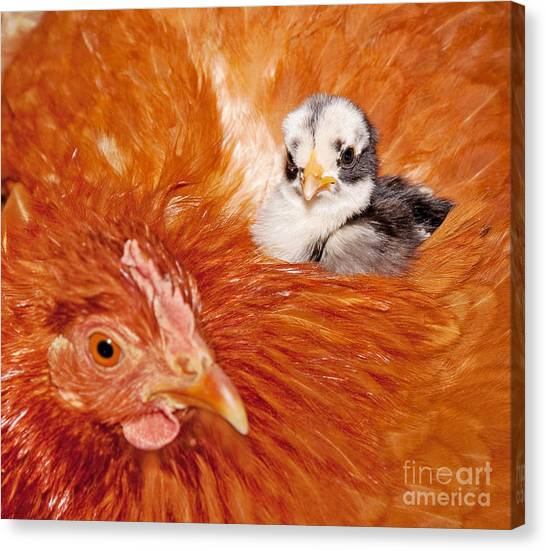 Safety Of Mama Hen Canvas Print