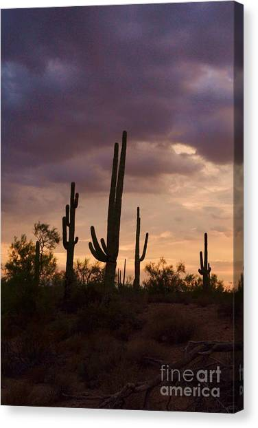 Saguaros After The Storm Canvas Print by Patty Descalzi
