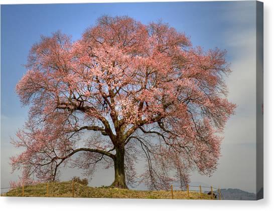 Sakura Sakura 1 Canvas Print