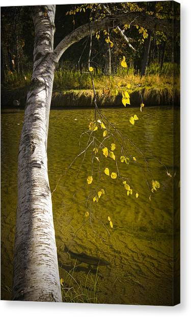 Salmon During The Fall Migration In The Little Manistee River In Michigan No. 0887 Canvas Print