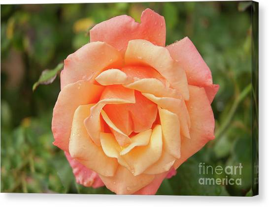 Salmon Rose Canvas Print