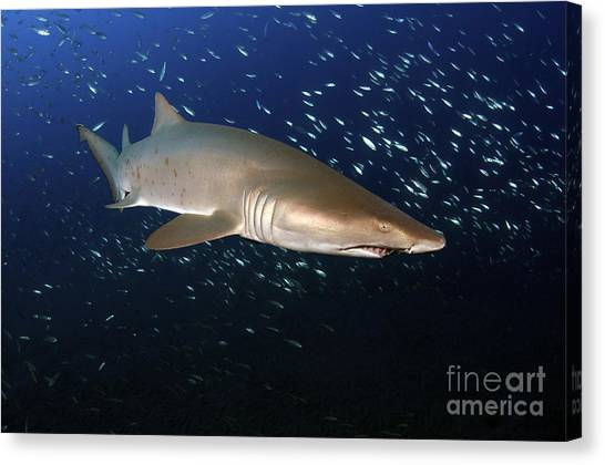 Tiger Sharks Canvas Print - Sand Tiger Shark Off The Coast Of North by Karen Doody