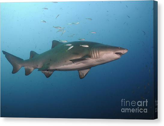 Tiger Sharks Canvas Print - Sand Tiger Shark Swims In Blue Water by Karen Doody