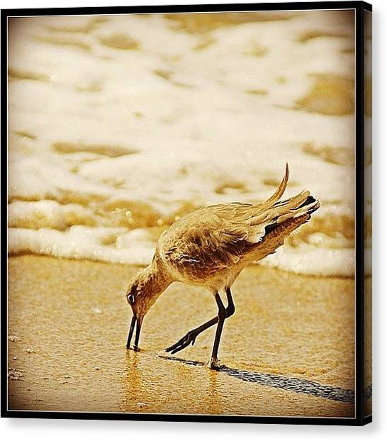Sandpipers Canvas Print - Sandpiper Catching Lunch #lagunabeach by Polly Rhodes