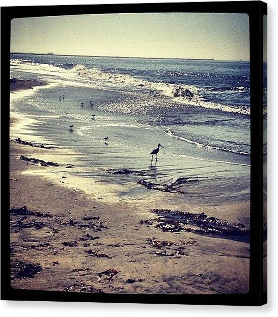 Sandpipers Canvas Print - #sandpipers Mother & Babies On My by Todd Davis