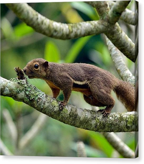 Squirrels Canvas Print - Sandy Cheeks 😁 #squirrel #nature by Zaqqy J