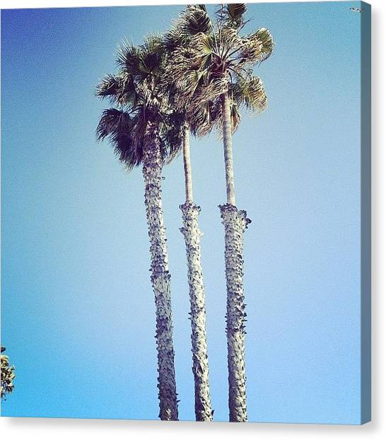 Santa Monica Canvas Print - Santa Monica Palm Trees by Cortney Herron