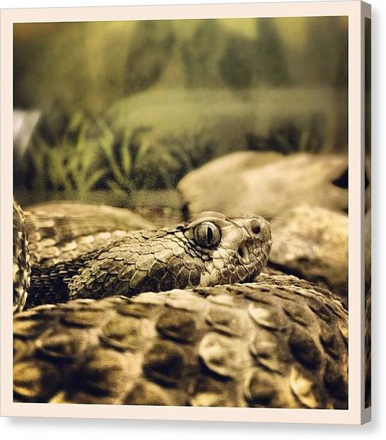 Vipers Canvas Print - Scaly Assassin! #snake #viper #scales by Robert Campbell