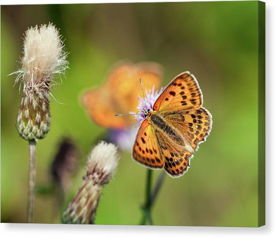Scarce Copper Butterfly Canvas Print