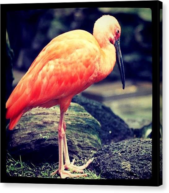 Ibis Canvas Print - Scarlet Ibis by Justin Connor
