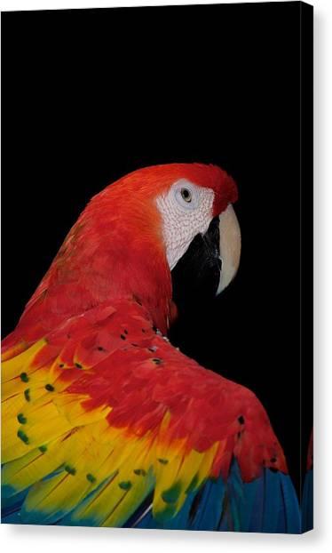 Scarlet Macaw Canvas Print by C Thomas Willard