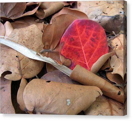 Scarlet Seagrape Leaf Still Life Canvas Print