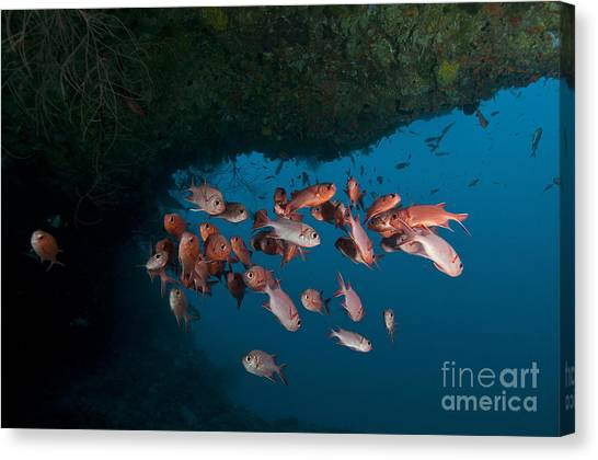 Underwater Caves Canvas Print - School Of Red Bigeye Under A Rocky by Mathieu Meur