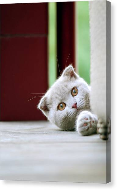 Scottish Folds Canvas Print - Scottish Fold Kitten On Balcony by Photos of Linda Gavin