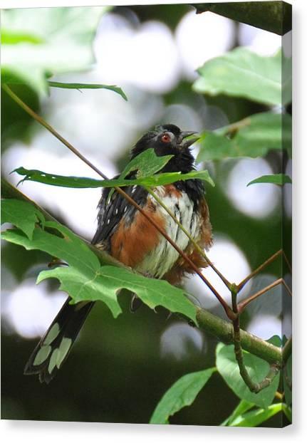 Brown Towhee Canvas Print - Scruffy Towhee Sings by Ronda Broatch