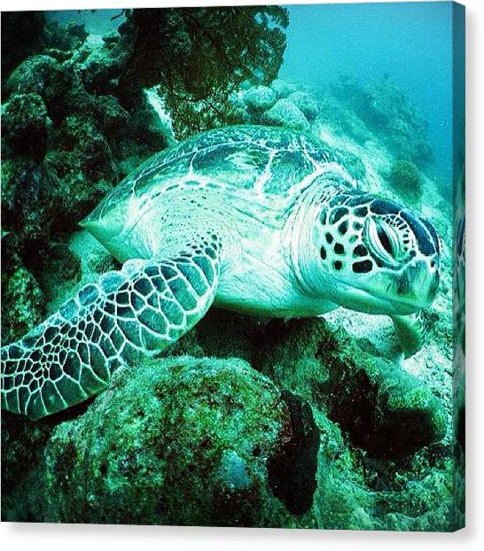 Sea Turtles Canvas Print - #sea #borneo #sipadan #scuba #dive by Steve Woods