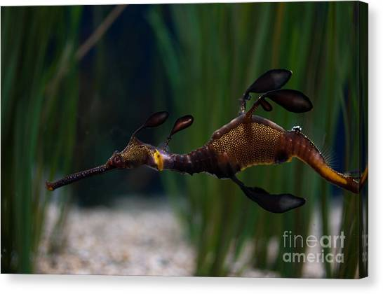 Sea Dragons Canvas Print