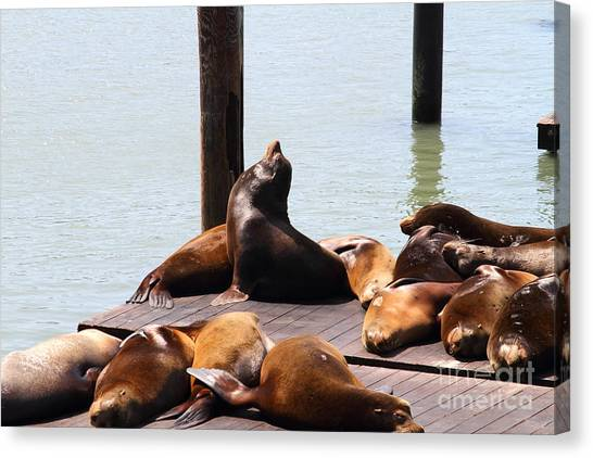 Sea Lions At Pier 39 San Francisco California . 7d14314 Canvas Print by Wingsdomain Art and Photography