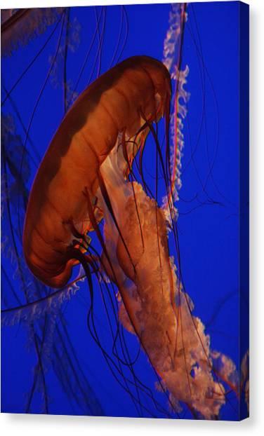 Sea Nettle Jellyfish Monterey Bay Aquarium Canvas Print