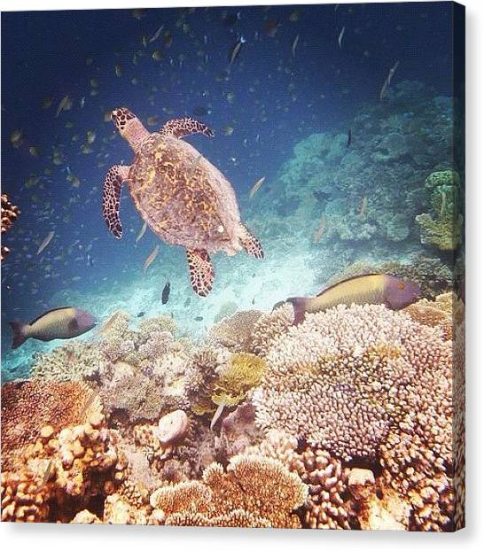 Sea Turtles Canvas Print - Sea Turtle Maldives  by Vanessa Jones