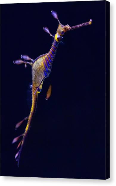 Canvas Print - Seadragon  by Donna Pagakis