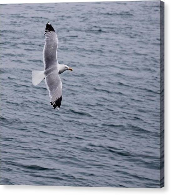 Ocean Animals Canvas Print - Seagull In Flight by Justin Connor