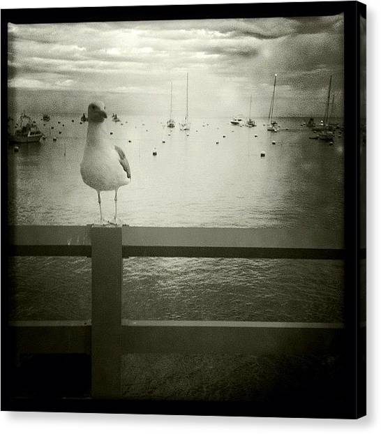 Seagulls Canvas Print - Seagull by Torgeir Ensrud