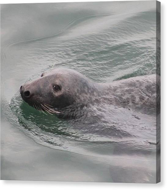Ocean Animals Canvas Print - Seal  by Justin Connor
