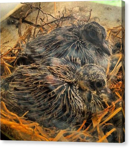 Dove Canvas Print - See? Babies by Rob Murray