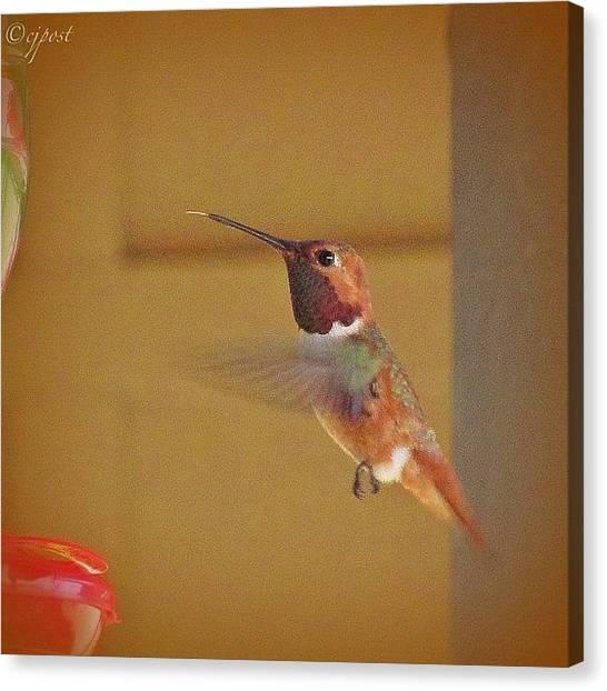 Hummingbirds Canvas Print - See My Tongue? #rufoushummingbird by Cynthia Post