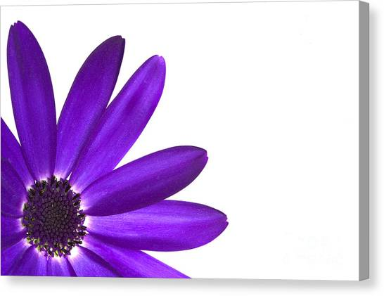 Purple Canvas Print - Senetti Deep Blue by Richard Thomas